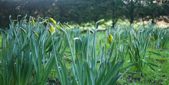 argc-daffodils