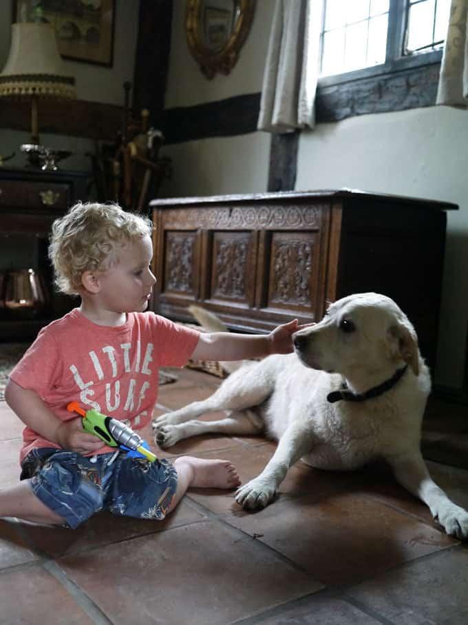 toddler-labrador-shropshire