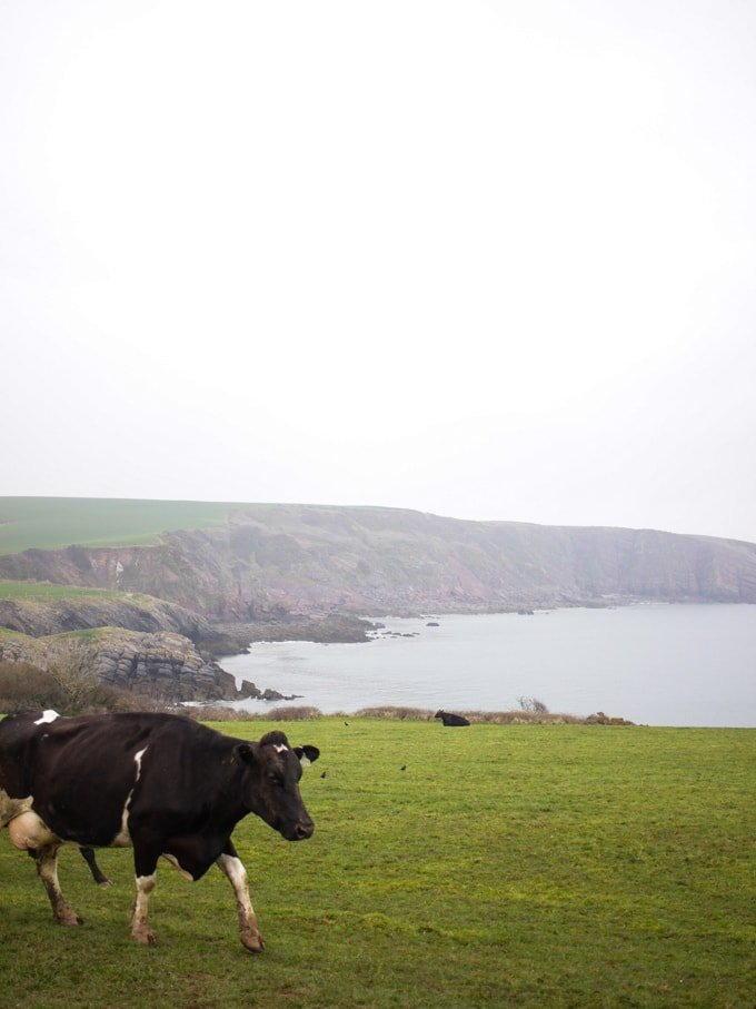 Cows crossing past Stackpole Estate in Pembrokeshire Wales on the walk to Barafundle Bay.