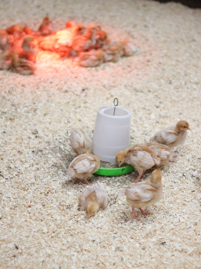 Baby chicks under heat lamp in sawdust with feeder in Folly Farm Tenby Pembrokeshire Wales soft play barn area.